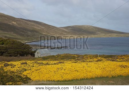 Yellow flowers of gorse bushes covering the hills around Dyke Bay on Carcass Island in the Falkland Islands.