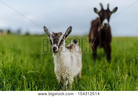 goat and goat grazing on a green meadow