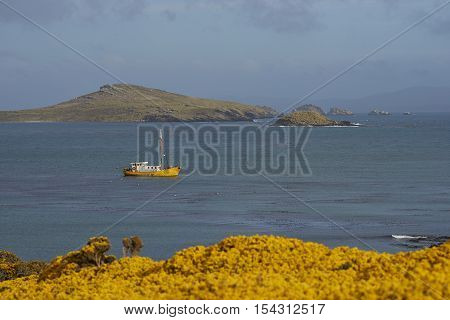 Fishing boat at anchor in the bay of Carcass Island in the Falkland Islands. Yellow flowers of gorse bushes in the foreground.