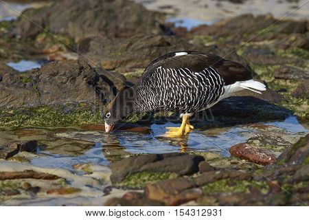 Female Kelp Goose (Chloephaga hybrida malvinarum) feeding on vegetation in rock pools on the coast of Carcass Island in the Falkland Islands.