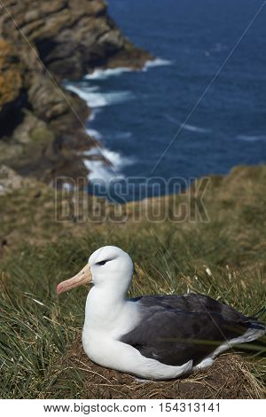 Black-browed Albatross (Thalassarche melanophrys) sitting on a nest on the cliffs of West Point Island in the Falkland Islands.