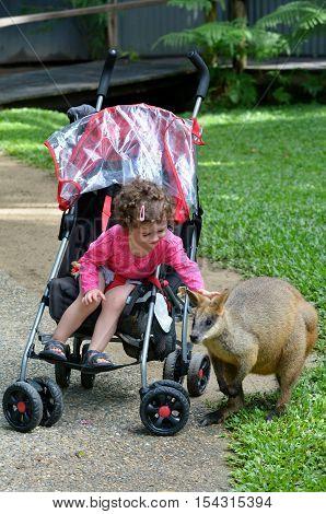 Little child (girl age 1-2) sit in a pram petting an Agile wallaby in Kuranda Queensland Australia
