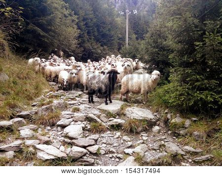 Flock of sheeps on a mountain path