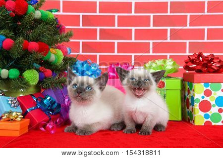 Two Siamese kittens siblings one laying one sitting on red fur carpet by christmas tree decorated with yarn balls lights presents around them brick wall background. Small kitten meowing loudly