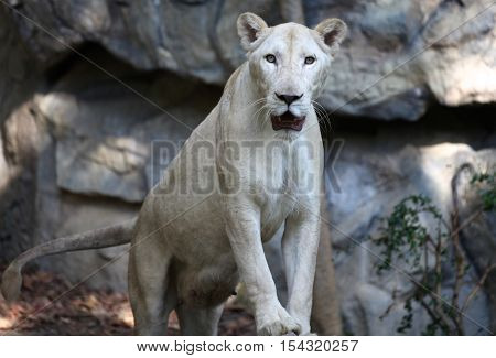 Lioness rare white color Thailand South East Asia