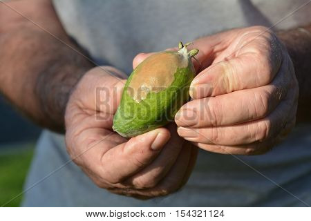 Elderly Man Hands Hold A Feijoa Infected By Blossom-end Rot