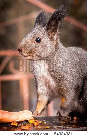 Grey squirrel on a stump eating nuts