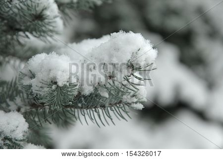 Pine Tree Covered With Snow. Winter Landscape