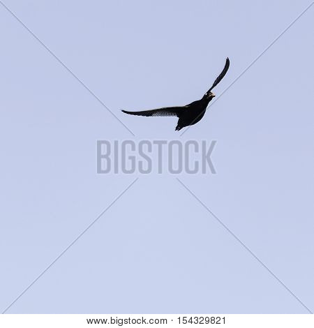 White-winged Scoter male banking in flight wings high