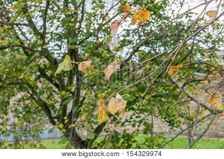 Leaves on tree, turning to yellow. Spring, Autumn.