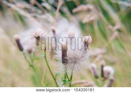 Close up of Dandelions. soft focus, nature background