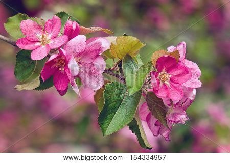 Vintage photo of pink apple tree flowers in spring. Shallow depth of field