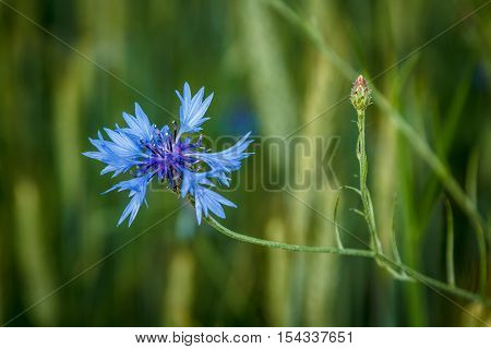 Blue knapweed growing on a green meadow in summer