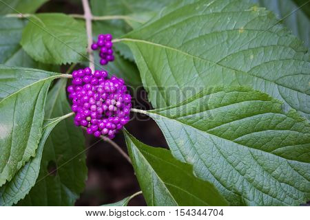 Closeup of purple American Beautyberry against dark green leaves. Also known as American Mulberry.