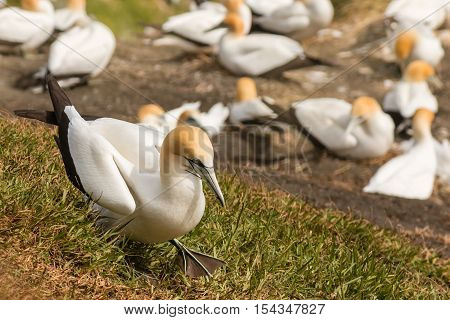 closeup of gannet walking above nesting colony