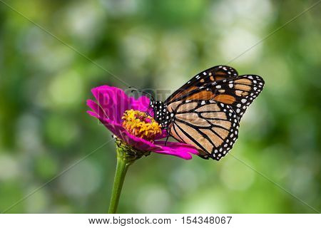Monarch butterfly (Danaus plexippus) feeding on pink Zinnia flower. Natural green background with copy space.