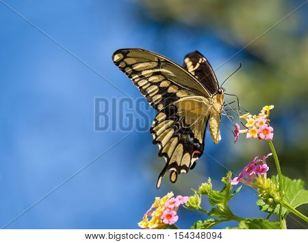 The Giant Swallowtail (Papilio cresphontes) butterfly feeding on Lantana flowers. Blue sky background with copy space.