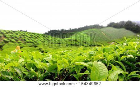 Tea farm plantation in Cameron Highland Malaysia