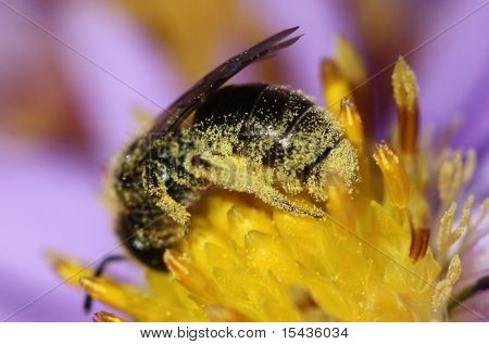 Bee covered with pollen