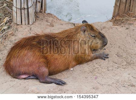 Capybara lying close on ground grazing, hair, hairy, herbivore,