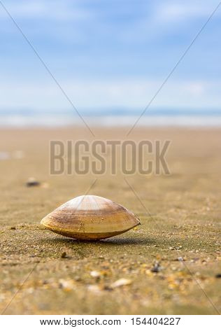 Close up of a Rayed Trough Shelled Mollusc (Mactra stultorum) taken at low level on a beach with shallow depth of field