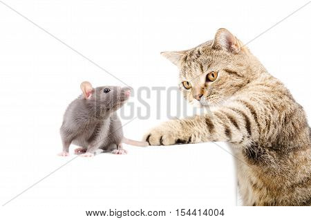Cat Scottish Straight hunts rat isolated on white background