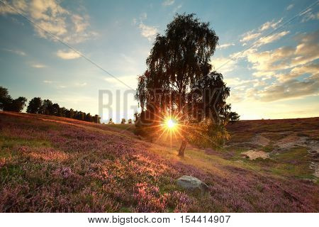 gold sunbeams behind birch tree over heathland