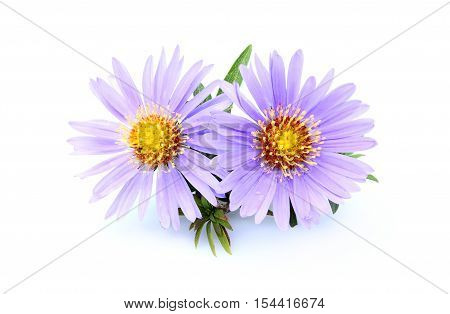 Purple asters close-up isolated on white background.