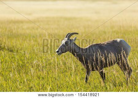 A female bighorn sheep in a grassland.