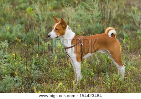 Cute Basenji dog - troop leader in the wild grass.
