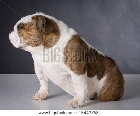 english bulldog puppy sitting on black background