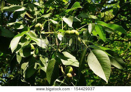 Fresh walnuts in a walnut tree in autumn