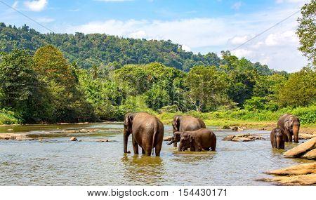 Group of elephants in river. Take in Pinawelle, Sri Lanka