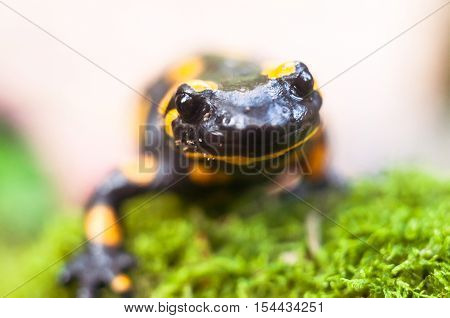 Fire Salamander In Spring Forest Close-up