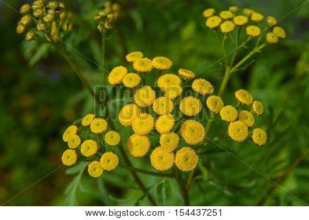 Tansy (tanacetum Vulgare),