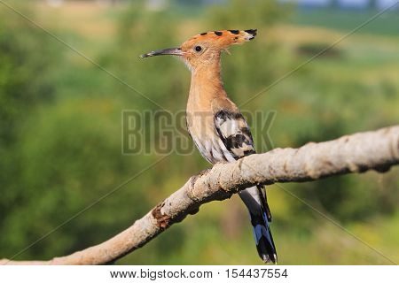 rare hoopoe sitting on a branch on a background summer landscape, colorful feathers, the bird disappears, bangs, Upupa epops