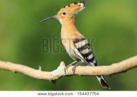 hoopoe sitting on a branch on a green background, colorful feathers, the bird disappears, bangs, Upupa epops