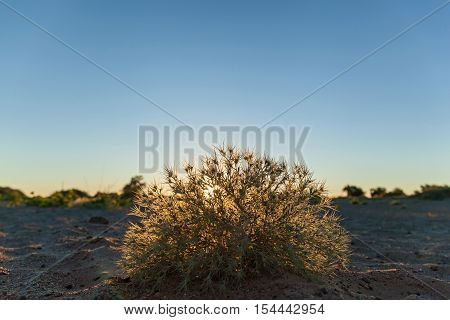 The bush on sandy beach.The tumbleweed shining of the sunlight on the sandy beach.