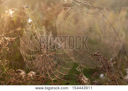 Two webs of the spider.Two big spider webs in the morning in the field on the dry grass blur and legible webs.