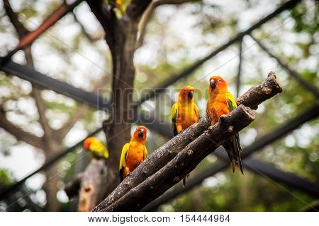 Sun Conure parrot is standing at dry branch.