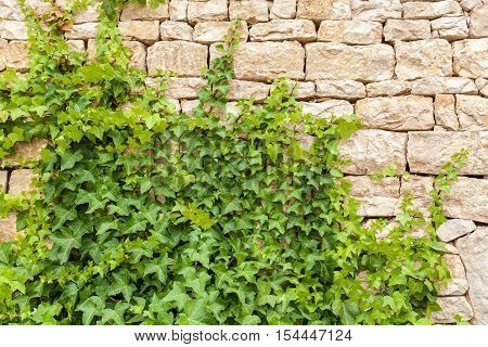Plant on wall. Creeper over brick wall. Texture of the climbing ivy on brick wall.