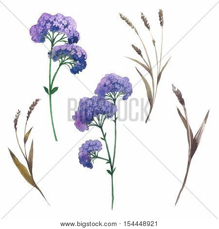 Wildflower orpine flower in a watercolor style isolated. Full name of the plant: orpine, sedum, livelong. Aquarelle wild flower for background, texture, wrapper pattern, frame or border.