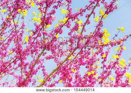 Pink flowers on cercis chinensis or chinese eastern redbud tree against blue sky
