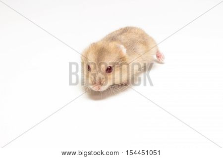 Little And Cute Hamster