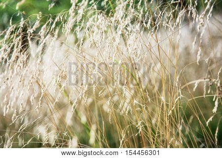 Close up photo of yellow wheat field. Seasonal natural scene.