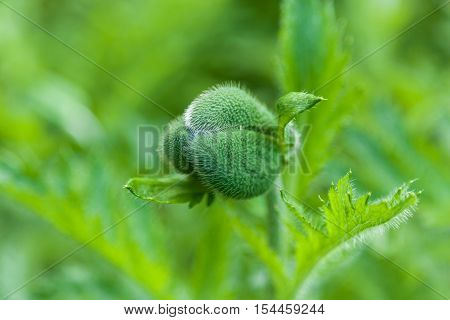 Poppy bud. Three-edged shaggy poppy bud saturated green color with spiky green leaves on the sides of a long stem.