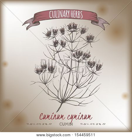 Cuminum cyminum aka Cumin color vector hand drawn sketch on vintage background. Culinary herbs collection. Great for cooking, medical, gardening design