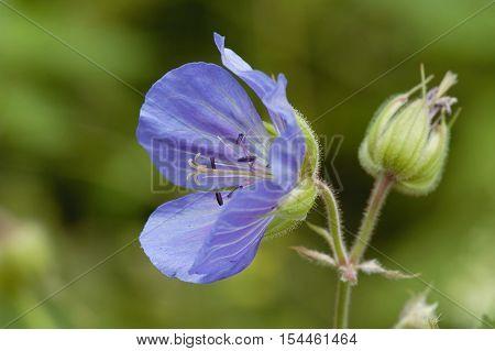 Meadow Cranesbill - Geranium pratense Large Blue Geranium Flower