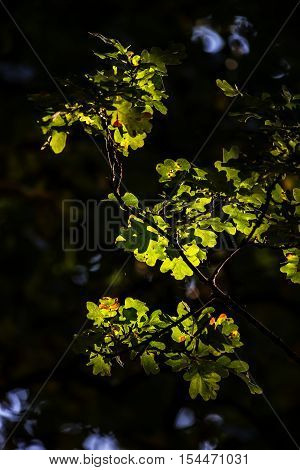 Beautiful Acorn Oak Tree In Forest Landscape With Dappled Sunlight Catching The Leaves As They Chang