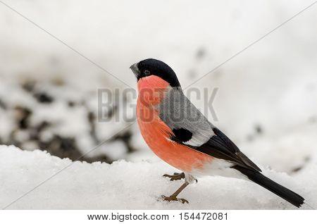 Bullfinch (Pyrrhula pyrrhula, Eurasian Bullfinch) sitting on a snow surface. Christmas symbol. Winter natural background
